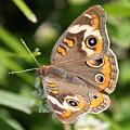 Buckeye Butterfly Square by Carol Groenen