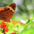Buckeye Butterfly Readying For Takeoff by Kay Brewer