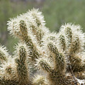 Buckhorn Cholla by Kelley King