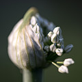 Budding Red Onion Stem by Sherman Perry