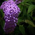 Buddleia Flower by Svetlana Sewell