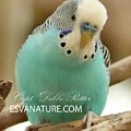 Budgie 4577 by Captain Debbie Ritter