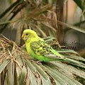 Budgie 4582 by Captain Debbie Ritter