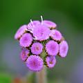 Buds In Purple by Betty LaRue