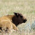 Buffalo Calf by Jeff Swan