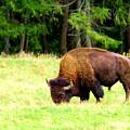 Buffalo Crossing by Jeff Swan