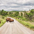 Buffalo Crossing by John M Bailey