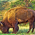 Buffalo Custer State Park  by Tommy Anderson