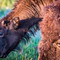 Buffalo Family by Paul Freidlund