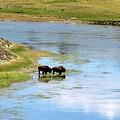 Buffalo Walk by FD Graham