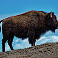 Buffalo In Profile by David Arment