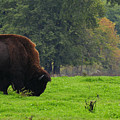 Buffalo In Spring Grass by David Arment
