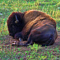Buffalo In The Badlands by Tommy Anderson