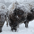 Buffalo In The Blowing Snow by Laszlo Gyorsok