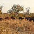 Buffalo In The Timbavati by Lisa Byrne