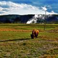 Buffalo In Yellowstone by David Arment