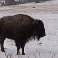 Buffalo by JK Dooley
