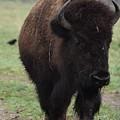 Buffalo by Linda Benoit