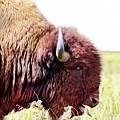 Buffalo Of The Tall Grass Prairie  by Susan Vineyard
