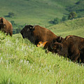 Buffalo On Hillside by Ernie Echols