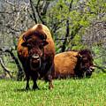 Buffalo Posing by Marilyn Burton
