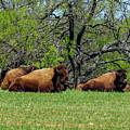 Buffalo Resting In A Field by Marilyn Burton