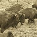 Buffalo Roaming by Linda Hardin