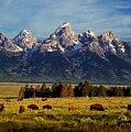 Buffalo Under Tetons 2 by Leland D Howard