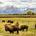 Buffalo Under The Tetons by TL  Mair