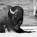 Buffalo  by Vincent Bonafede