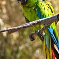 Buffon's Macaw by Mike Martin