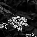 Bug On Flowers Black And White by Marina McLain