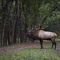 Bull Elk Bugle by Andrea Silies