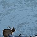 Bugling Bull Elk, Alberta Canada by Daryl L Hunter