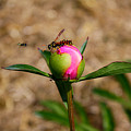 Bugs Wanting The Same Flower by Goldie Pierce