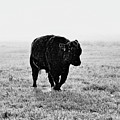 Bull After Ice Storm by Amanda Smith