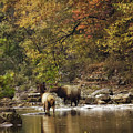 Bull And Cow Elk In Buffalo River Crossing by Michael Dougherty