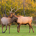 Bull And Cow Elk - Rutting Season by James BO  Insogna