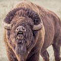 Bull Bison by Cindi Alvarado