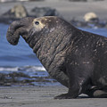 Bull Elephant Seal by Stan and Anne Foster