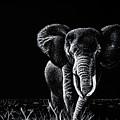 Bull Elephant by Senecca Corsetti