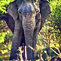 Bull Elephant Threat by Steve Harrington
