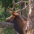 Bull Elk 2 by Heather Coen