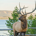 Bull Elk At Yellowstone by James Udall