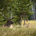 Bull Elk by Chad Davis