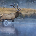 Bull Elk Crossing The Madison River by Jerry Fornarotto