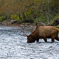 Bull Elk Crossing The River by Photography by Laura Lee
