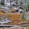 Bull Elk Feeding In Winter by Mel Manning