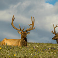 Bull Elk Friends For Now by Vicki Stansbury