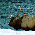 Bull Elk In Winter by C Sitton